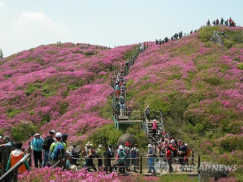 [#꿀잼여행] 호남권: 지리산 10㎞ 능선 따라 분홍빛 꽃대궐…바래봉 철쭉제