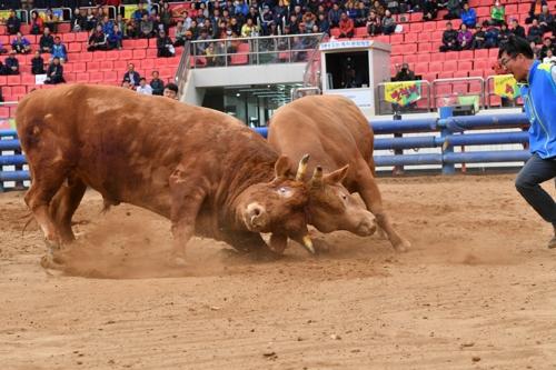황소들의 한판 대결…청도소싸움축제 다음 달 16일 개막