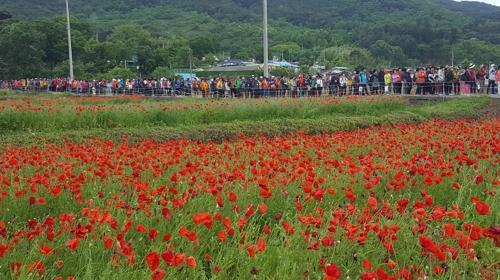 붉게 물든 꽃양귀비 장관…하동 북천 직전마을서 17일 축제