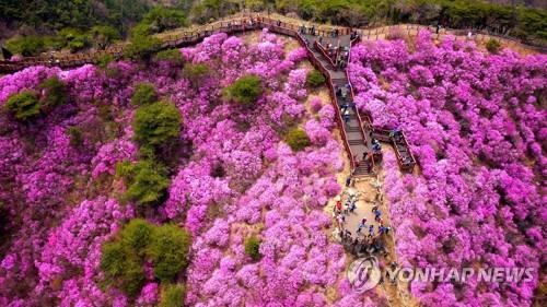 강화군, 코로나19로 고려산 진달래 축제 취소
