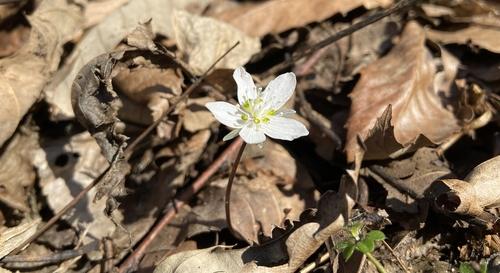 [픽! 부안] 봄의 전령 변산바람꽃 활짝