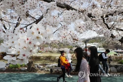 [카메라뉴스] 벚꽃 만개한 남원 요천 벚꽃길
