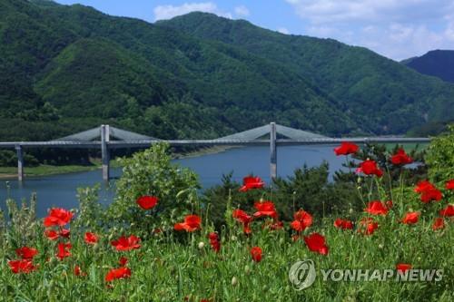 [카메라뉴스] 인제 44번 국도변…꽃양귀비의 붉은 물결 힐링