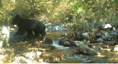 This photo provided by the Ministry of Environment shows an Asiatic black bear photographed in the Demilitarized Zone in October 2018. (Yonhap)