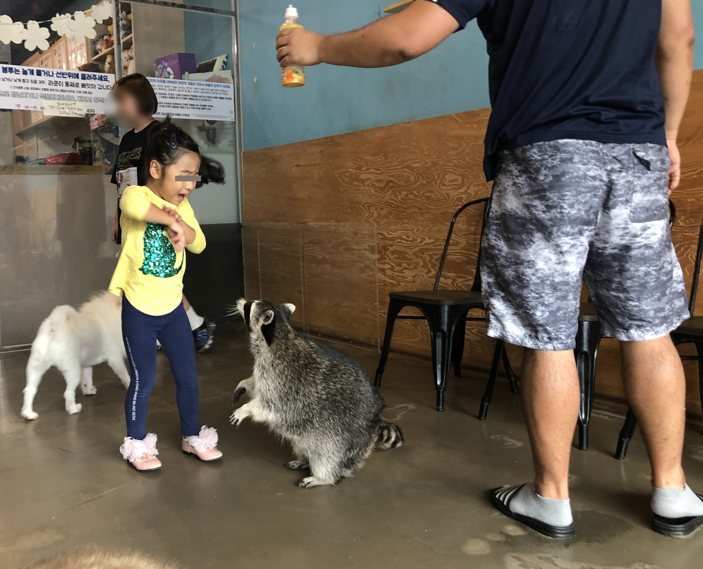 A child plays with a raccoon at a local animal cafe in this undated file photo released by Animal Welfare Awareness Research and Education (PHOTO NOT FOR SALE) (Yonhap)