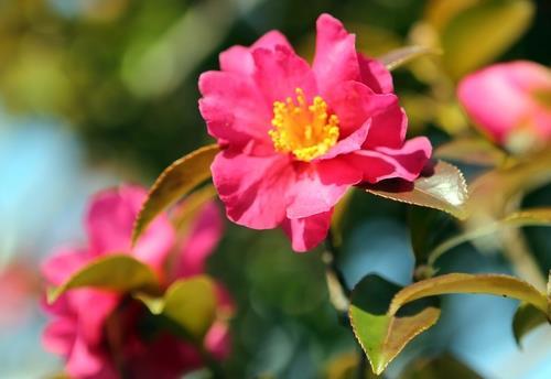 해운대 동백꽃