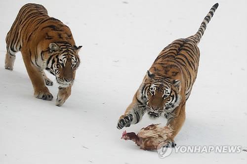 먹이를 사냥하는 아무르 호랑이들의 모습. 기사와는 상관없음.