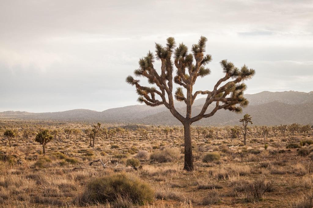 미국 남서부 사막 지대에 자생하는 조슈아 트리