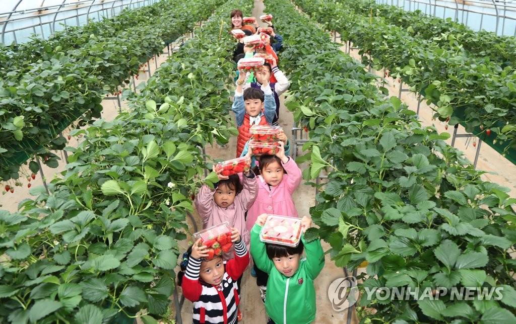 딸기 따기 체험