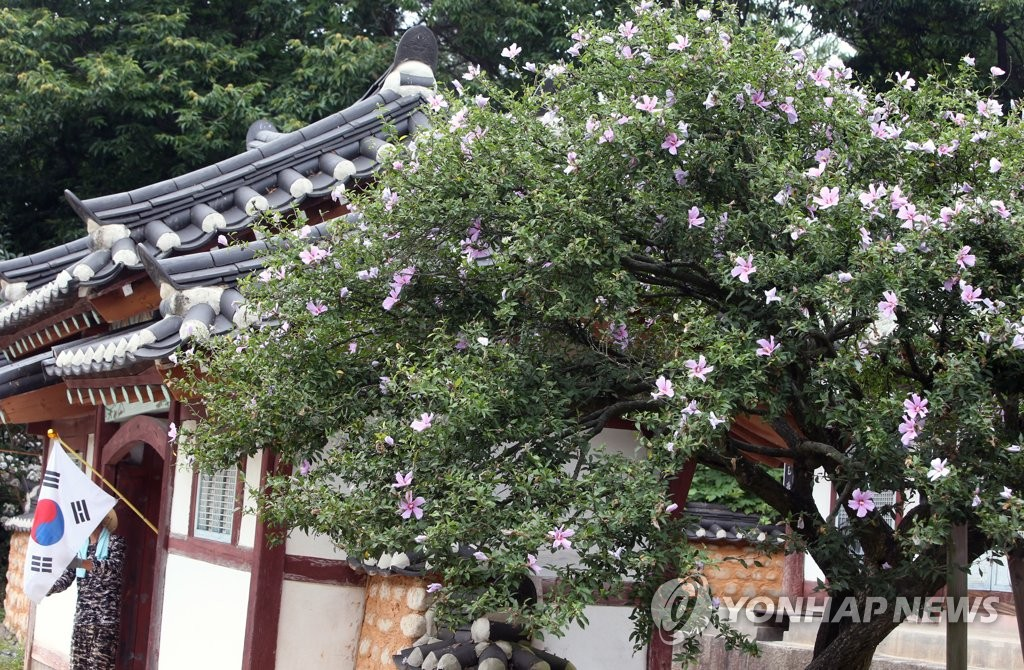 Oldest rose of Sharon tree in S. Korea