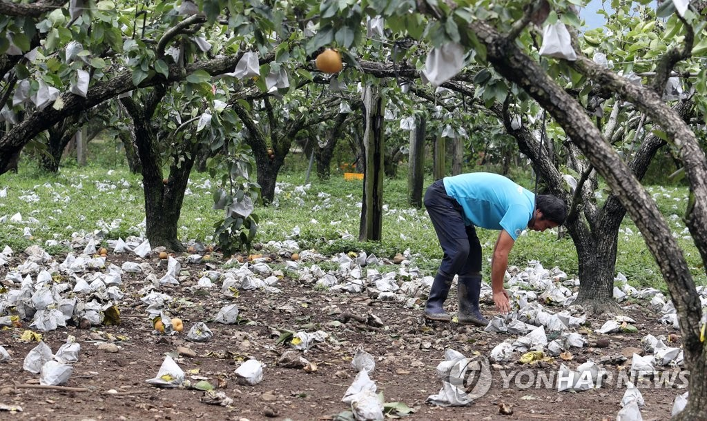 A farmer picks up pears fallen on the ground at an orchard in Suncheon, 415 kilometers south of Seoul, on Sept. 8, 2019, after Typhoon Lingling struck the country the previous day. (Yonhap)