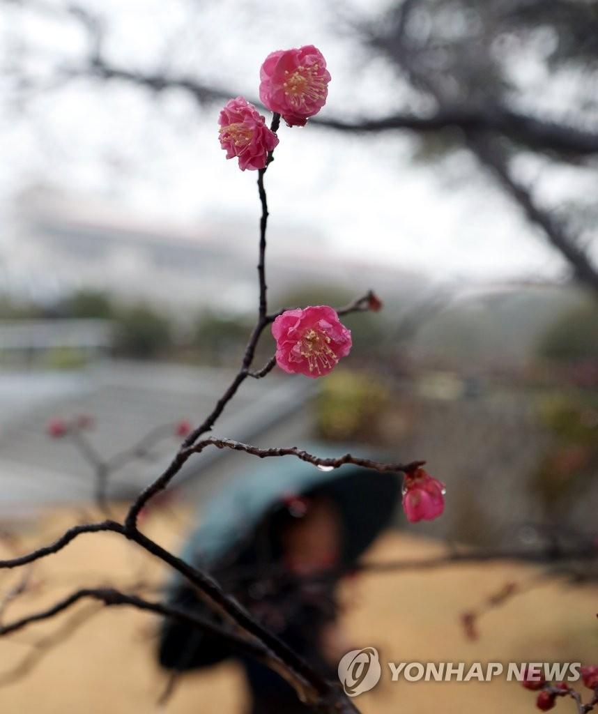 유엔기념공원 홍매화 개화