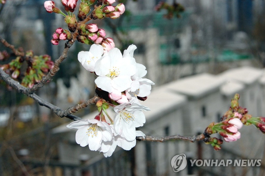 This undated photo provided by the Korea Meteorological Administration shows cherry blossoms in Seoul. (PHOTO NOT FOR SALE) (Yonhap)