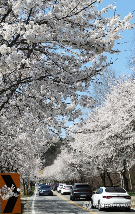 Cherry blossoms in Sejong