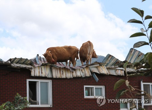 Cows on roof