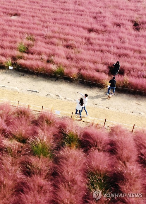 Field of pink grass